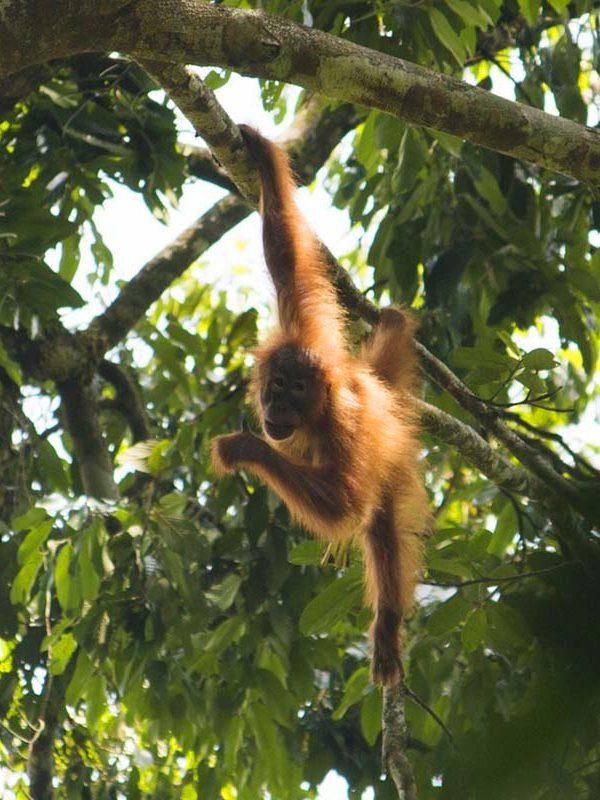 Orang Utan Bukit Lawang Sumatra